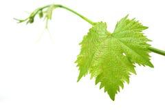 лоза листьев стоковое изображение