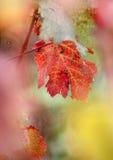 Лоза-листья Стоковое Изображение RF