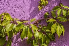 Лоза на красочной стене Стоковая Фотография