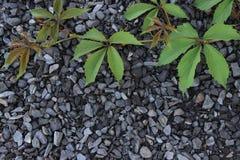 Лоза одичалого liyng виноградин на предпосылке щебня Стоковая Фотография RF