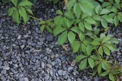 Лоза одичалого liyng виноградин на щебне Стоковое Изображение RF