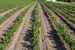 лоза питомника виноградины Стоковое Фото