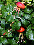 лоза плодоовощ одичалая Стоковые Фотографии RF