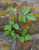 Лоза плюща отравы растя вверх стена сада Стоковое фото RF