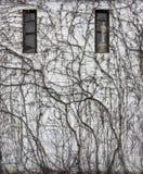 Лоза покрыла стену здания в цвете Стоковые Фото