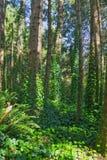 Лоза покрыла лес Стоковые Изображения RF
