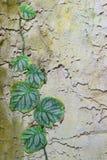 лоза предпосылки каменная Стоковые Изображения