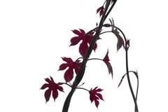 Лоза при изолированные листья и ростки стоковая фотография