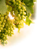 лоза солнца лета портрета виноградин стоковое изображение rf