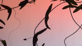 Лоза страсти эволюционировала обороны от гусениц для еды их листьев Это одно имеет листья которые дают впечатление быть стоковые фото