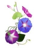 Лоза славы утра в цветени (purpurea ипомея) Стоковые Изображения RF
