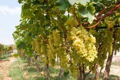 Лоза с зрелыми виноградинами в винограднике стоковое изображение rf