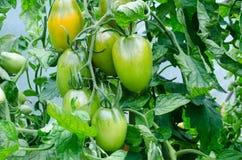 Лоза томата сливы Стоковое Изображение RF