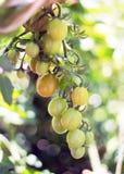 лоза томата Стоковое Изображение