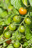лоза томатов вишни зеленая Стоковое Фото