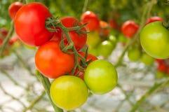 лоза томатов крупного плана зеленая красная Стоковая Фотография RF