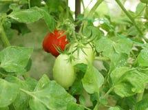 лоза томатов сливы Стоковое фото RF