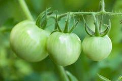 лоза томатов Стоковое фото RF