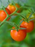 лоза томатов стоковое изображение rf