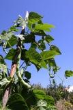лоза фасоли щелчковая Стоковые Фото