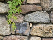 Лоза Creeper Вирджинии на стене песчаника Стоковая Фотография RF