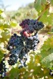лоза merlot виноградин Стоковые Изображения RF