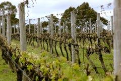 лозы виноградины Стоковые Фото