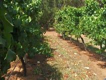 лозы виноградины Стоковые Фотографии RF