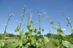 лозы виноградины Стоковые Изображения RF