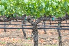 Лозы виноградин Стоковая Фотография