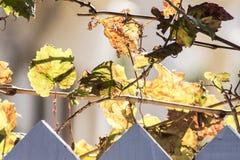 Лозы виноградника предсказывают Стоковое Изображение