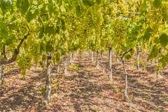 Лозы и виноградины Стоковая Фотография