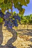 Лозы и виноградины Стоковое Изображение RF