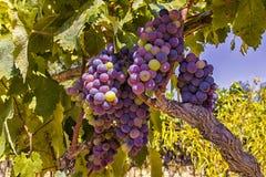 Лозы и виноградины Стоковая Фотография RF