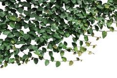 Лозы и зеленый цвет выходят на белую предпосылку стоковое фото rf