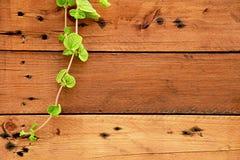 Лозы на деревянных стенах падая от левой верхней стороны Предпосылка древесины и завода природы стоковая фотография