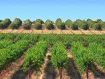 лозы померанцев виноградины Стоковая Фотография RF