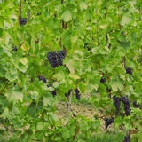 Лозы с виноградинами Стоковые Фотографии RF