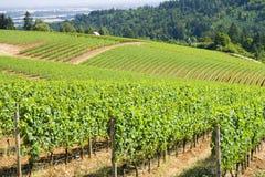 лозы холмов виноградины dundee Стоковые Фото