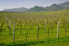 лозы prosecco виноградины Стоковые Фото