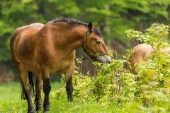 Ломовая лошадь бездействующая после работы Стоковые Изображения RF