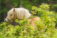Ломовая лошадь бездействующая после работы Стоковая Фотография