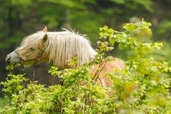 Ломовая лошадь бездействующая после работы Стоковое фото RF