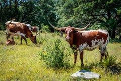 Лонгхорны Техаса пася стоковое фото rf