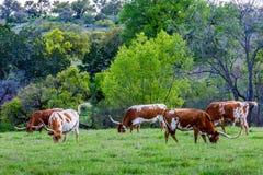 Лонгхорны Техас Стоковое Фото