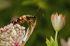 лонгхорн жука Стоковые Изображения RF