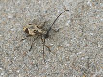 лонгхорн жука Стоковые Изображения