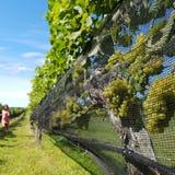 Лонг-Айленд виноградника стоковое изображение rf