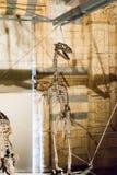 ЛОНДОН, ВЕЛИКОБРИТАНИЯ - 27-ОЕ ИЮЛЯ 2015: Музей естественной истории - детали от Dinosaurus Стоковое Изображение
