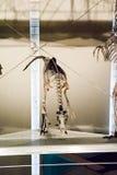 ЛОНДОН, ВЕЛИКОБРИТАНИЯ - 27-ОЕ ИЮЛЯ 2015: Музей естественной истории - детали от Dinosaurus Стоковые Фотографии RF